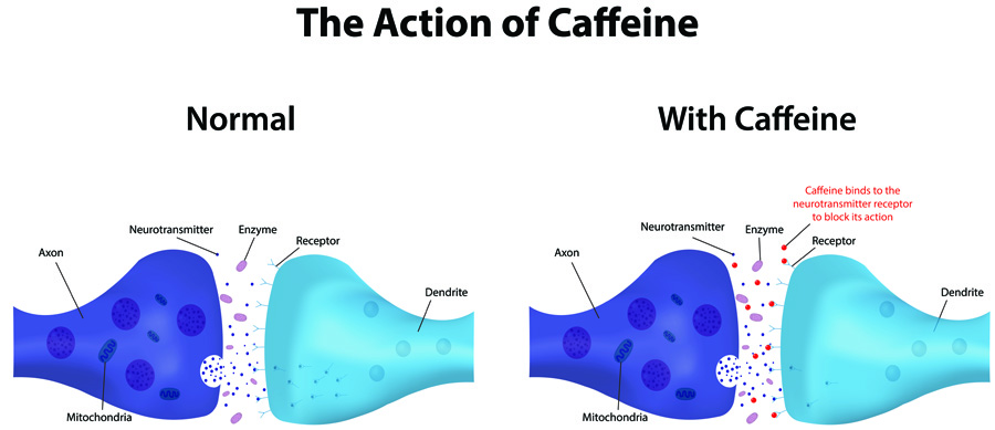 The Action of Caffeine